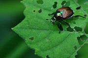 Featured Pyrography Prints - June Bug 1 Print by Jeffrey Platt