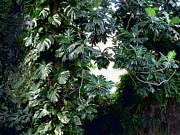 Ian  MacDonald - Jungle