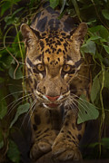 Clouded Leopard Posters - Jungle Prince Poster by Ashley Vincent