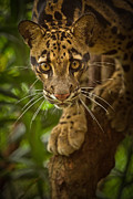 Clouded Leopard Posters - Jungle Princess Poster by Ashley Vincent