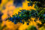 Kettle Moraine Prints - Juniper Berries Print by Randy Scherkenbach