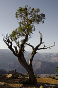 Dave Gordon Framed Prints - Juniper Tree at Grand Canyon No. 2 Framed Print by Dave Gordon