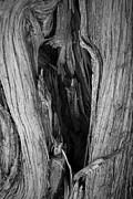David Gordon - Juniper Tree Trunk