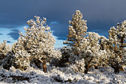 Juniper Trees In Snow Print by Chris Scroggins
