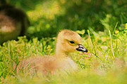 Wildfowl Prints - Just a Baby Print by Darren Fisher