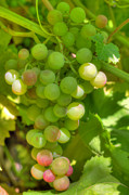 White Grapes Framed Prints - Just A Little More Time On The Vine Framed Print by Heidi Smith