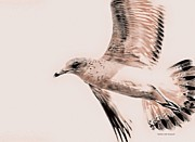 Flying Seagull Art - Just a Seagull by Deborah Benoit