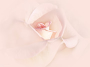 Light Pink Roses Prints - Just a Whisper Pink Rose Flower Print by Jennie Marie Schell