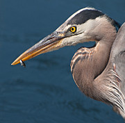 Just An Appetizer For A Great Blue Heron Print by Kasandra Sproson