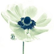 Anenome Prints - Just Because Print by Constance Fein Harding