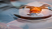 Koi Pond Metal Prints - Just Below the Surface  Metal Print by Hastings Franks