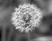 Jane Eleanor Nicholas - Just Blow - dandelion in...