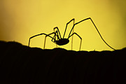 Harvestmen Photos - Just Creepy by Lori Tambakis