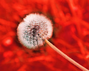 All Dandelion Sale Sale Sale Though April 30 - Just Dandy Burnt Orange by Andee Photography