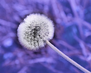 All Dandelions - Just Dandy Lavender by Andee Photography