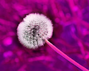 All Dandelions - Just Dandy Magenta by Andee Photography