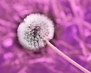 All Dandelions - Just Dandy Mauve by Andee Photography