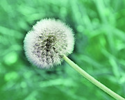 All Dandelions - Just Dandy Mint Green by Andee Photography