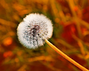 All Dandelions - Just Dandy Orange by Andee Photography