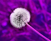 Isolated Digital Art Prints - Just Dandy Purple Print by Andee Photography