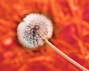 All Dandelions - Just Dandy Tangerine by Andee Photography