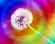 All Dandelions - Just Dandy Taste The Rainbow by Andee Photography