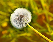 All Dandelions - Just Dandy Yellow by Andee Photography