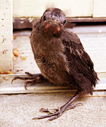 Baby Bird Metal Prints - Just Dropped By Metal Print by John Lautermilch
