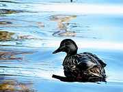 Mallards Photos - Just Ducky by Colleen Kammerer