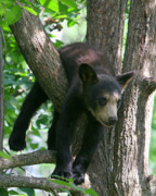 Black Bear Cubs Prints - Just Hangin Out Print by Gerry Sibell
