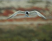Tern Photos - Just Missed by Ernie Echols