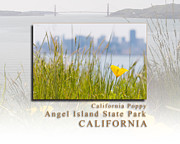 Sausalito Prints - Just One California Poppy at Angel Island State Park - San Francisco Bay California  HK Print by David Rigg
