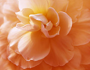 Orange Florals Posters - Just Peachy Begonia Flower Poster by Jennie Marie Schell
