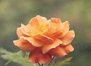Kim Hojnacki - Just Peachy - Rose