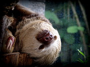 Sloth Framed Prints - Just Resting My Eyes Framed Print by Carlton Britt