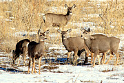 Mule Deer Herd Photograph Prints - Just the Girls Print by Barbara Chichester