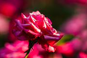 Single Rose Stem Photos - Just The Rose - Featured 3 by Alexander Senin