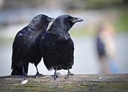 Corvus Brachyrhynchos Prints - Just the Two of Us Print by Ronda Broatch