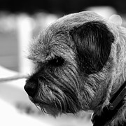 Dog Prints Photos - Just thinking by Sharon Lisa Clarke