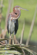 Tricolored Heron Framed Prints - Juv Tri Colored Framed Print by Deborah Benoit