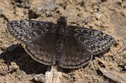 West Fork Photos - Juvenals Duskywing by Randy Bodkins
