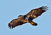 Juvenile Bald Eagle In Flight Close Up Print by Jeff at JSJ Photography