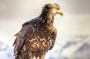 Natasha Bishop - Juvenile Bald Eagle in...