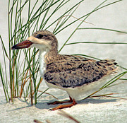 Baby Bird Photos - Juvenile Black Skimmer by Millard H. Sharp