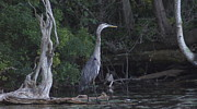 Ducks Unlimited Prints - Juvenile Blue Heron At Manistee National Park Print by Rosemarie E Seppala