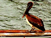 Florida Bridges Digital Art Prints - Juvenile Brown Pelican Print by Buzz  Coe