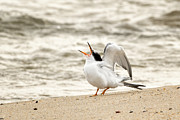 Baby Bird Prints - Juvenile Common Tern Print by Bill  Wakeley