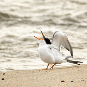 Juvenile Birds Posters - Juvenile Common Tern Square Poster by Bill  Wakeley