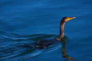 Double Framed Prints - Juvenile Cormorant Swim Framed Print by Karol  Livote
