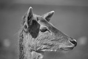 Douglas Barnard - Juvenile Deer Close-Up V2